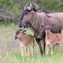wildebees-photo-web1